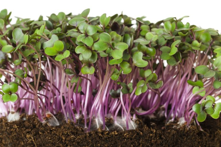 Red cabbage fresh sprouts front view